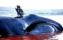 photo Wikipedia: Inuit woman and child standing on bowhead whale after a 2002 subsistence hunt